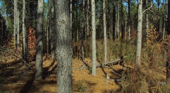Pine Thinning 2008
